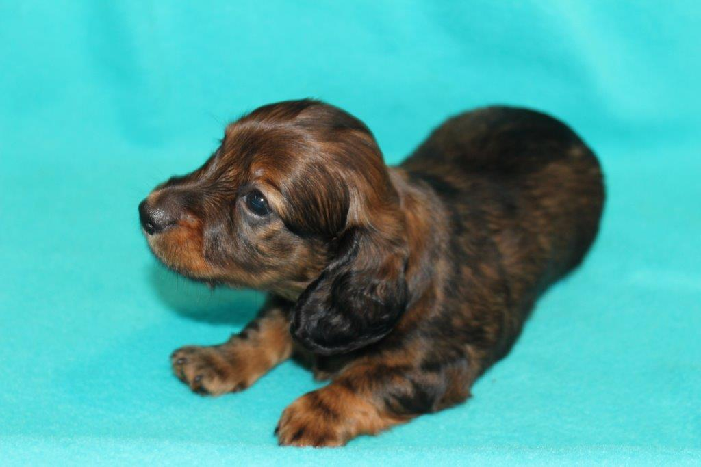AKC miniature dachshund puppies for sale - Texas Country Dachshunds