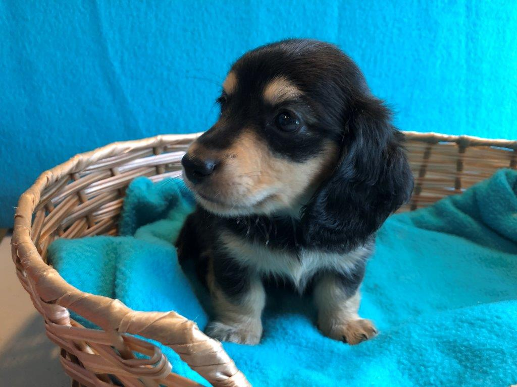 Rose Glen North Dakota ⁓ Try These Miniature Dapple Dachshund